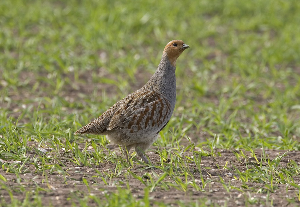 Conserving the Grey  Partridge